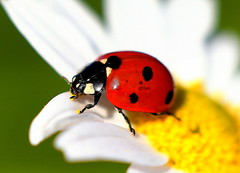 Sjuprickig Nyckelpiga / Seven Spot Ladybird (Coccinella septempunctata) (Martin1446) Tags: nature natur nikon d500 macro insect insekt skalbagge beetle sjuprickig nyckelpiga seven spot ladybird coccinella septempunctata