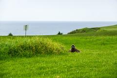 Golf course Laysan Albatross chick (jonasflanken) Tags: albatross seabird laysanalbatross equipment camera compactcamera sonyrx10iii bird princevillemakaigolfclub chick procellarid kauai hawaii animal hanalei dscrx10m3 princeville unitedstates us