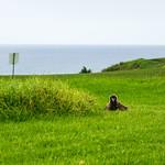 Golf course Laysan Albatross chick thumbnail