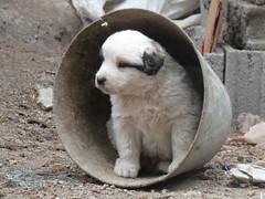 P1010761.jpg (fatwaller) Tags: mamifère amérique chien nature animal terrestre venezuela