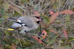 HNS_1091 Pestvogel : Jaseur boreal : Bombycilla garrulus : Seidenschwanz : Bohemian Waxwing