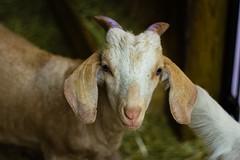 (marina~) Tags: halton mountsberg animal goat kid farm ontario canon milton conservation
