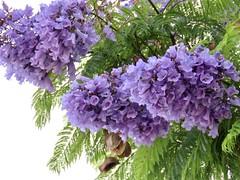 Jacaranda Morning (Bennilover) Tags: trees tree jacarandatree blossoms flowers petals purple blooming lacey leaves green summer california jacarandas