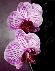 Orchids (Jean Turner Cain) Tags: flower flora flowers floral flor fleur bloem blomst art adobe photoshop texture textured textures jeanturnercain orchid pink stilllife