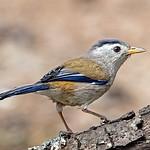 Blue-winged Minla thumbnail