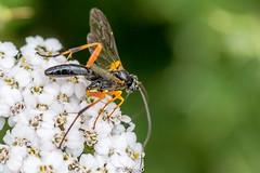 Pimpla-0001.jpg (vorneo) Tags: classinsecta familyichneumonidae kingdomanimalia wasp orderhymenoptera parasiticwasp phylumarthropoda insect genuspimpla wild subfamilypimplinae