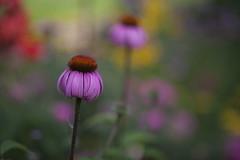 SUMMER COLORS- Echinacea purpurea (milance1965) Tags: rotersonnenhut sonnenhut blume rot lila pink macro makro canon canon80mm 1 8 flower echinacea
