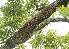 Honeybee Swarm (Thomas Muir) Tags: tommuir apiary apismellifera queen feral woodcounty perrysburg ohio nikon d800 200400mm chinkapin