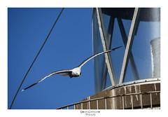_MOD1814 (Dolchi72) Tags: aves gaviota gaviotas faro melilla melillalavieja