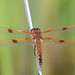 Painted Skimmer - Libellula semifasciata, Mason Neck West Park, Mason Neck, Virginia