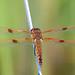 Painted Skimmer - Libellula semifasciata, Mason Neck West Park, Mason Neck, Virginia