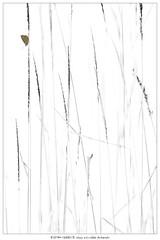 Broken wings (Stefan Gerrits aka vanbikkel) Tags: finland lohja white bw monochrome canon5dmarkiii canonef100mmf28lmacroisusm nature wildlife vanbikkel butterfly vlinder polyommatussemiargus mazarineblue klaverblauwtje niittysinisiipi
