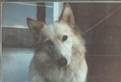 """""""Trish""""- 10-18-1984 (912greens) Tags: trish dogs 1980s pets devotion"""