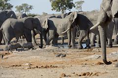 Warthogs and Guineafowl Looking for Water (naturalturn) Tags: herd elephant guineafowl helmetedguineafowl warthog savanna wateringhole water savuti chobe chobenationalpark botswana image:rating=5 image:id=205681
