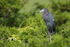 Little Blue Heron (Mark Schwall) Tags: littleblueheron egrettacaerulea bird wadingbirds nikon nikkor600mmf4ais manualfocus d500 markschwallphotographycom newjersey nj southernnewjersey rookery heronry