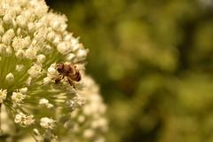 Busy bee... (Maria Godfrida) Tags: fauna flora bee honeybee nature garden summer insect animal flower green white bokeh closeup busy blur nikon plants