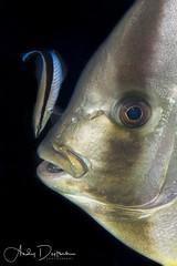 Cleaning (andy_deitsch) Tags: alexmustardworkshop redsea sharkyolandareef wrasse batoideabatoids batfish cleaner cleaning behavior