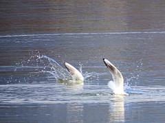 Natation synchronisée chez les mouettes (jean-daniel david) Tags: mouette gull oiseau oiseaudeau eau natation lac plongeon