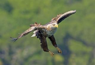JWL0707  Sea Eagle...