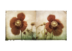 """ bless My senses with the sight of her I love"" (mark kinrade) Tags: poppies diptych vintage manx markkinrade"