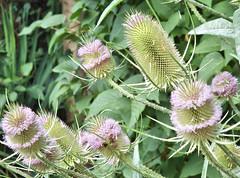 Kaardebol 2017 6 (megegj)) Tags: gert flower bloem blume fleur fiore tuin garden garten jardin