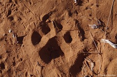 Lion's tracks around our tent in Garaghab (Claudio e Lucia Images around the world) Tags: lion lions footprint desert kgalagadi garaghab ktp southafrica namibia botswana