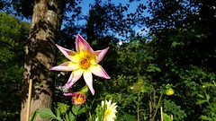 Flower (blondinrikard) Tags: blomma colorful colourful colors nature flowers blommor botaniska göteborg