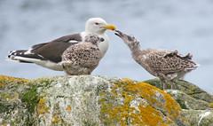 Please! (Arnt Kvinnesland) Tags: greatblackbackedgull gulls seagulls seabirds svartbak svartbakunger sjøfugler kyst sommer juli sundsvika sund veavågen karmøy norway