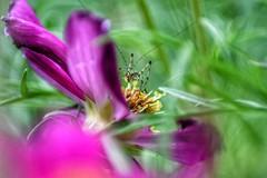 hidden little world (***étoile filante***) Tags: summer sommer meadow wiese insect insekt nature natur beauté beauty schönheit flower blume bokeh