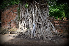 (Rekha Prasad) Tags: bodhitree buddhaheadtrappedinbodhitree thailand ayuthaya ayuthayahistoricalpark wat mahathat nature ruins ayuthayaattractions mustseeinayuthaya southeastasia