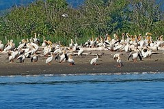 American White Pelicans, Padilla Bay, Skagit County, WA 7/8/17 (LJHankandKaren) Tags: padillabay pelican americanwhitepelican photographerhankheiberg