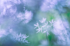 # Allium ursinum # (Thomas Vanderheyden) Tags: abstract bokeh colors couleur fleur fleursauvage flora flore flower glace ice macro nature proxi thomasvanderheyden vegetal