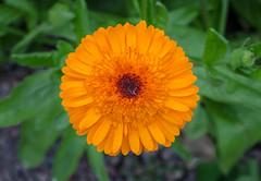 Gerbera in the Sofiero castle garden (frankmh) Tags: plant flower gerbera sofiero sofierocastlegarden helsingborg skåne sweden outdoor macro