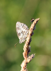 Companionable Wings! (RiverCrouchWalker) Tags: marbledwhite butterfly insects fly grass bokeh southwoodhamferrers essex july summer 2017 melanargiagalathea seedhead wingwednesday happywingwednesday hww