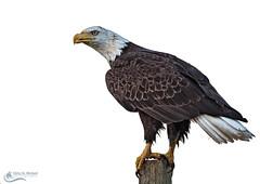 Bald Eagle (Chris St. Michael) Tags: baldeagle eagle animal birdofprey nature wildlife wildlifephotography naturephotography