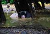 ,, Hog Heaven ,, (Jon in Thailand) Tags: primates monkeys jungle bananas wildlife pigs mudmonsters nikon nikkor d300 175528 trees mudpuddles pignose pigbutt raining monsoon yellow green pink pigsnout monkeytemple lazyfatpig lazyfatpigs pinkpignose deepjungle littledoglaughedstories