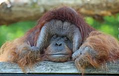 borneo orangutan Kevin Apenheul BB2A7300 (j.a.kok) Tags: orangutan orangoetan borneoorangutan borneoorangoetan asia azie mammal monkey mensaap primate primaat zoogdier dier animal kevin ape aap apenheul borneo