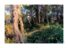 Il fantasma del bosco (felicescopece1) Tags: alberi tree wood pino bosco aleppo paesaggio orton pineta fantasma ghost