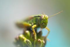 Friday grasshopper (6line8) Tags: grasshopper sauterelle macro raynoxdcr250