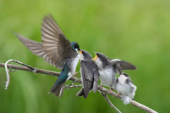 Feeding Time (kdee64) Tags: treeswallow tachycinetabicolor feeding fledgling adultfemale summer migratorybird mcintyrecreek whitehorse yukon northerncanada