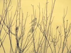 acho melancólico (Gigica Machado) Tags: duplaexposição doubleexposure nature natureza naturaleza natur naturelovers naturale natural bird birds