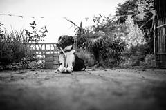 I didn't do anything... (mripp) Tags: art kunst animal animals dog dogs hund hunde unschuld unschuldig leid am 10 summicron 28mm black white mono monochrom street strase