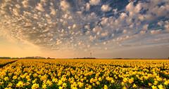 A wind turbine cutting up the little puffy white clouds. (Alex-de-Haas) Tags: 1635mm d750 dutch dutchskies hdr holland hollandseluchten lowcountries nederland nikkor nikkor1635mm nikon nikond750 noordholland thenetherlands avond beautiful bloemen bloemenbijeenkomst bloemenveld bloemenvelden bright daffodil daffodils daglicht daylight depthoffield evening field flower flowerfields flowerbed fullframe highdynamicrange laagland landscape landscapephotography landschap landschapsfotografie lente licht light lucht luchten mooi narcis narcissen narcissus nature natuur outdoor outdoors overdag plant polder serene skies sky spring sun sundown sunny sunset tripod zon zonnig zonsondergang