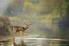 The stag at the stream (hvhe1) Tags: animal nature wildlife wild awd water amsterdamsewaterleidingduinen holland thenetherlands waterwingebied dunes mammal fallowdeer damadama damhert damhirsch daim antlers stag male river hvhe1 hennievanheerden