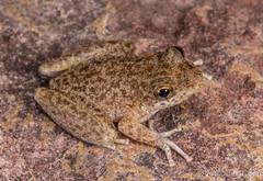 Copland's Rock Frog (Litoria coplandi) (JLoyacano) Tags: coplandsrockfrog coplandsrockfroglitoriacoplandi frog grotto jacobloyacano litoriacoplandi thegrotto wa westernaustralia anura anuran herp herping kimberley litoria rockfrog wildlife