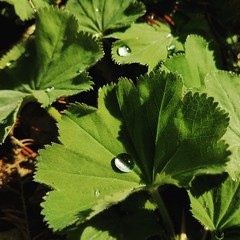 Lady's Mantle (amywa123) Tags: ladysmantle