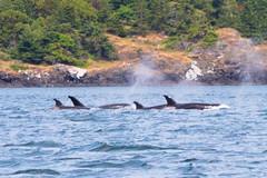 DSC_5963 (whibbles) Tags: washington pnw mountains seattle hiking rattlesnakeledge orcas whales orcasisland eagles wildlife