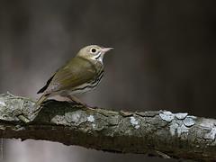 Paruline couronnée / Ovenbird (Sylvain Prince) Tags: seiurus