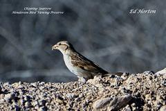 Chipping Sparrow ( Spizella Passerina ) (Edhorton) Tags: henderson bird viewing preserve las vegas navada wildlife chipping sparrow spizella passerina