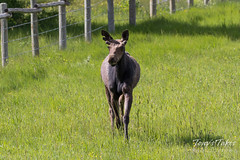 Handsome young Moose bull